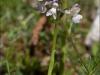 Anacamptis morio (Var. cromatica)
