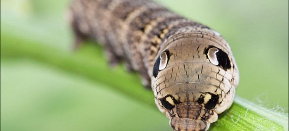 Il bruco che si credeva un serpente deilephila elpenor - Colorazione dei bruchi ...